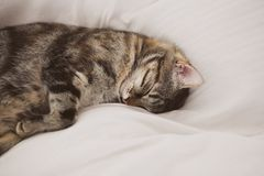Sleeping cat on white background. Cute European three color cat. Portrait of beautiful cat.