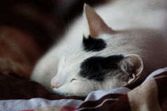 Sleeping cat Royalty Free Stock Images
