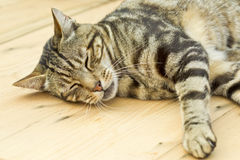 Sleeping cat on a wooden table Royalty Free Stock Photo