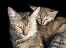 Sleeping cats. Mother and offspring isolated on black Stock Image