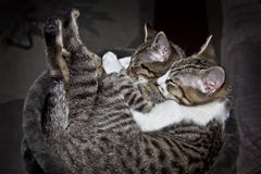 Sleeping cats. Sleeping tabby cats curled up together on cat bed. Best of friends Royalty Free Stock Image