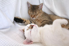 Sleeping cats Royalty Free Stock Photos