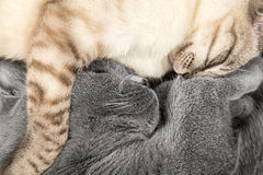 Sleeping cats. A couple of cuddling cats stock photography