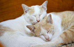 Sleeping cats together with cat's friend Royalty Free Stock Photo