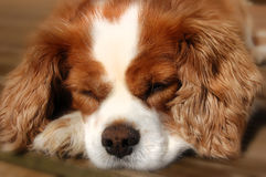 Sleeping Cavalier King Charles Spaniel Dog Royalty Free Stock Images