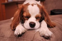 Sleeping Cavalier Puppy Dog. Cavalier King Charles Puppy Dog Sleeping with her paws outstretched and ears flopped over her arms stock photo