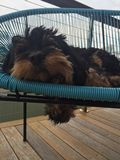 Sleeping Cavoodle royalty free stock image