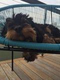 Sleeping Cavoodle Royalty Free Stock Image