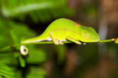 Sleeping chameleon Royalty Free Stock Photography