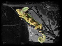 Sleeping chameleon in the dark. Colorful sleeping chameleon in the dark, highlighted with a black and white background stock photo