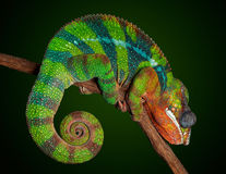 Sleeping chameleon Stock Photos