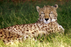 Sleeping cheetah. Cheetah sleeping, lying on the grass Royalty Free Stock Image
