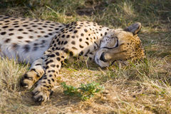 Sleeping cheetah. In grass close-up stock photos