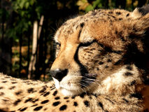 Sleeping cheetah Stock Photo