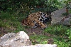 Sleeping Cheetah. Cheetah sleeping on path between rocks in the shade Stock Photos