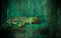 A sleeping cheetah. A cheetah sleeping on a rock after its mid day meal Stock Image