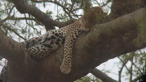 Sleeping cheetah royalty free stock image