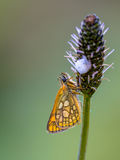 Sleeping Chequered skipper Stock Images