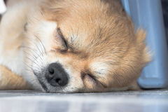 Sleeping Chihuahua. Sleeping brown dog-Chihuahua bleeding Stock Photography