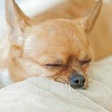 Sleeping chihuahua dog on beige background. Stock Images