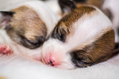 Sleeping chihuahua puppies Royalty Free Stock Photo