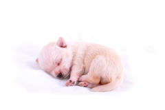 Sleeping chihuahua puppy. On white background Royalty Free Stock Photos