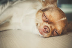 Sleeping chihuahua Royalty Free Stock Photos