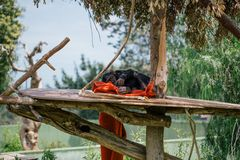 Sleeping chimpanzee in the zoo wildlife in Fasano apulia safari zoo Italy. Sleeping chimpanzee Fasano, apulia, italy summertime relax royalty free stock image