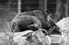 Sleeping Chimpanzee Royalty Free Stock Photography