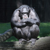 Sleeping Chimpanzee. Stock Images