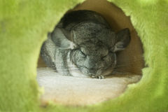 Sleeping Chinchilla Stock Image