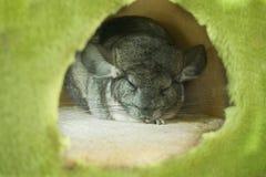 Sleeping Chinchilla. Sleepy Chinchilla in the green round house Stock Image