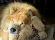 Sleeping Chow Chow Stock Images