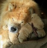 Sleeping Chow Chow Royalty Free Stock Photography
