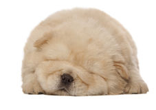 Sleeping chow-chow puppy Stock Photography