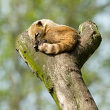 Sleeping coatimundi Royalty Free Stock Photos