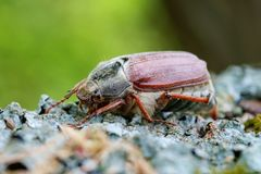 Cockchafer close up. Sleeping cockchafer on the wood Royalty Free Stock Images