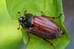 Cockchafer close up. Sleeping cockchafer on the wood Royalty Free Stock Photos