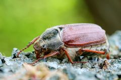 Cockchafer close up. Sleeping cockchafer on the wood Stock Images