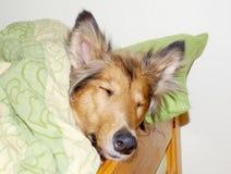 Sleeping collie dog Royalty Free Stock Photo