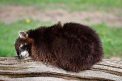 Sleeping common lotor raccoon on the tree truk Royalty Free Stock Image