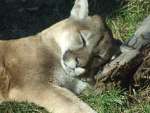 Sleeping Cougar. A cougar at a zoo in Calgary Alberta Canada Royalty Free Stock Photo