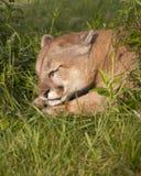 Sleeping Cougar Stock Photography