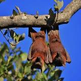 Sleeping couple of fruit bats Royalty Free Stock Photo