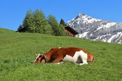 Sleeping cow on a green meadow. Mountain and hut Royalty Free Stock Photo