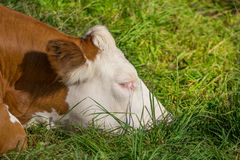 Sleeping cow. A cow lying in the grass and sleep placidly in the sun Stock Photography