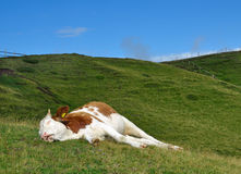 Sleeping cow on a meadow. Sleeping cow on a high mountain pasture. Alps, Italy Royalty Free Stock Photo