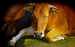 The sleeping cow. A Cow sleeping or resting on the ground Stock Photography