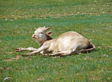 Sleeping cow. The shore of Baikal lake Stock Photo
