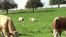 Sleeping cows on the meadow zoom out. Cows and calfs on pasture eating grass video stock video